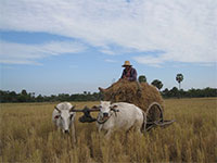 Cambodia Country side tour - oxcart with branch of rice