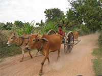 Cambodia Country side tour - Oxcart