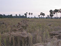 Cambodia Country side tour - rice harvesting view